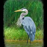 """great blue heron painted 3"" by nancielaing"