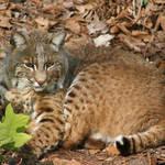 """Wildcat"" by nancielaing"