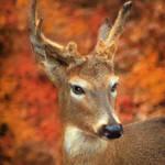 """""""Deer in the Fall"""" by nancielaing"""