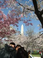 VIew through the Cherry Blossoms