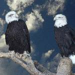 """The Amazing Bald Eagles"" by artsandi"
