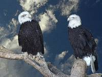 The Amazing Bald Eagles