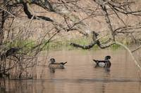 wood ducks 054