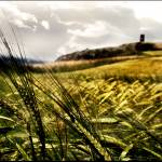 """Barley"" by overgraeme"
