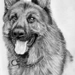 """German Shepherd"" by orinoco1973"