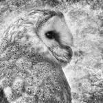 """Barn Owl 2"" by CelticOriginsPhotography"
