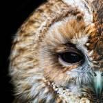 """Portrait of a Tawny Owl"" by CelticOriginsPhotography"