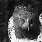 """Harris Hawk"" by CelticOriginsPhotography"