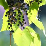 """grapes and leaves"" by lamich"