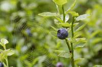 blueberry shrubs and spider web