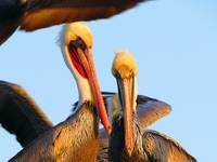 Pelican Couple