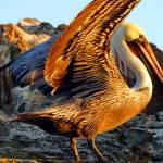 """Pelican Wings"" by angelstudio54"