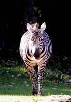 The Plains Zebra