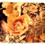 """Prickly-Pear with Orange Flowers"" by JoanneNetland"
