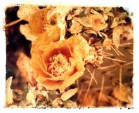 Prickly-Pear with Orange Flowers