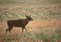 Whitetail in Field