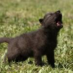 """wolf pup"" by csjones"