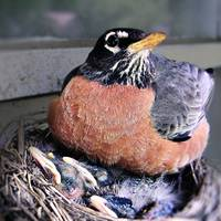 Mother Robin at Nest