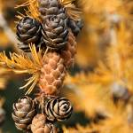 """Tamarack Tree Close-up"" by ultimateplaces"