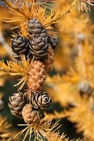 Tamarack Tree Close-up