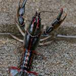 """Big Daddy Mudbug"" by bettynorthcutt"