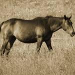 """""""Beautiful Horse"""" by artsandi"""