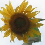 """Sun Flower Sky"" by valball_100"