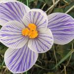 """Crocus Flower"" by valball_100"