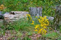 Goldenrods and Logs