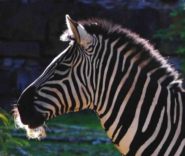"""Stunning """"Zebra&q..."""