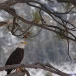 """Bald Eagle II"" by FrankBonilla"