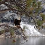 """Bald Eagle In Tree"" by FrankBonilla"