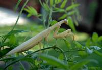 My Pet Pete The Praying Mantis 1