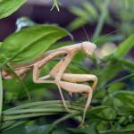 """My Pet Pete The Praying Mantis 2"" by FrankBonilla"
