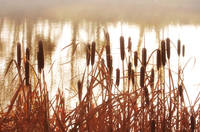 Cattails in the mist