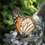"""""""Monarch"""" by valball_100"""