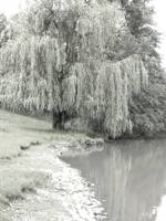 Willow By The Water