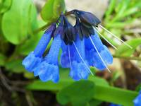 Oblong Leaf Bluebells - Outdoors Floral
