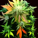 """Colorful Cannabis leaves"" by thunder"