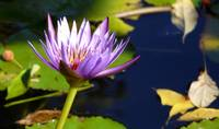 Water Lily - Conservatory Gardens, NYC Central Par