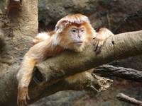 Ebony Langur Monkey, Bronx Zoo