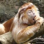 """Ebony Langur Monkey, Bronx Zoo"" by karinm"