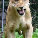 """Lioness, Bronx Zoo"" by karinm"