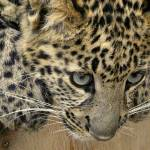 """""""Baby Cheetah named Diesel, West Coast Game Park, O"""" by karinm"""
