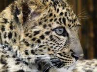Baby Cheetah named Diesel, West Coast Game Park, O