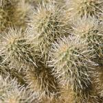 """Teddy Bear Cholla Cactus"" by Jackies-world"