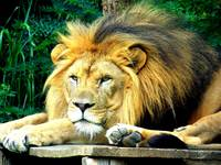 Lion in deep thought
