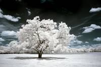 Lone Tree in Infrared - Landscape