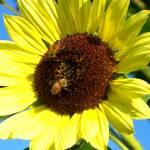 """""""sunflower"""" by Swmr152974"""