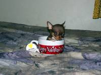 So this is a teacup chihuahua?